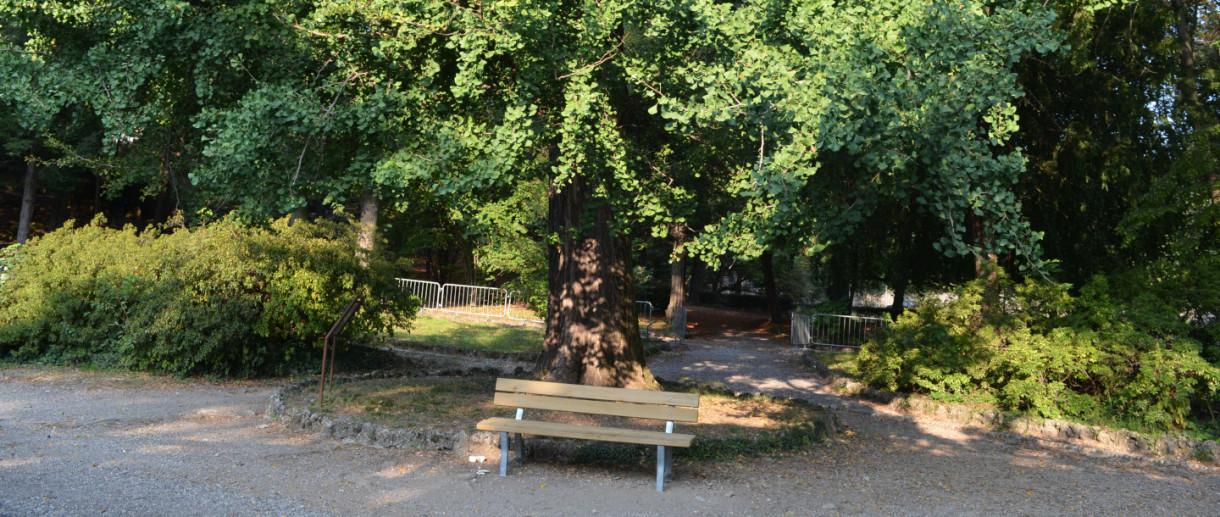 Il gingko dei Giardini Estensi