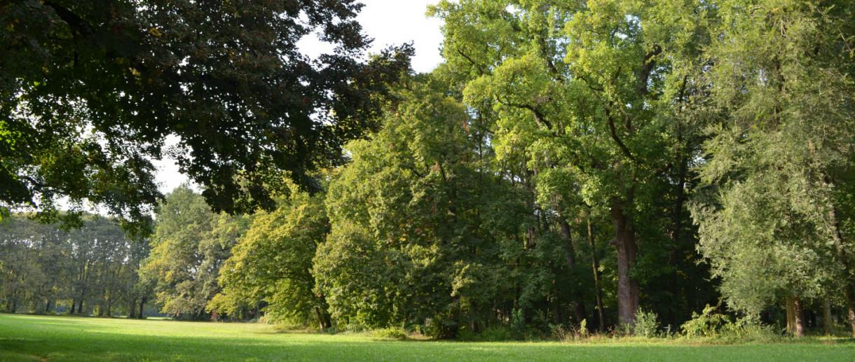 Il Liriodendro del Parco di Monza