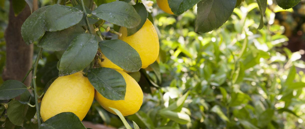 Lemons of Lake Garda