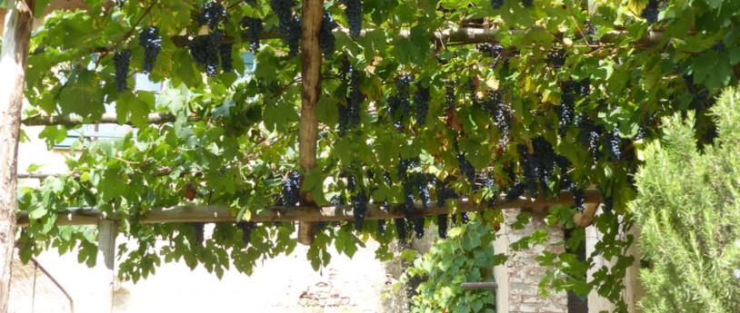 Teodolinda, il vino e le vigne scomparse