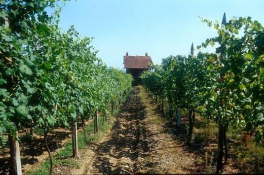 Una passeggiata tra le vigne