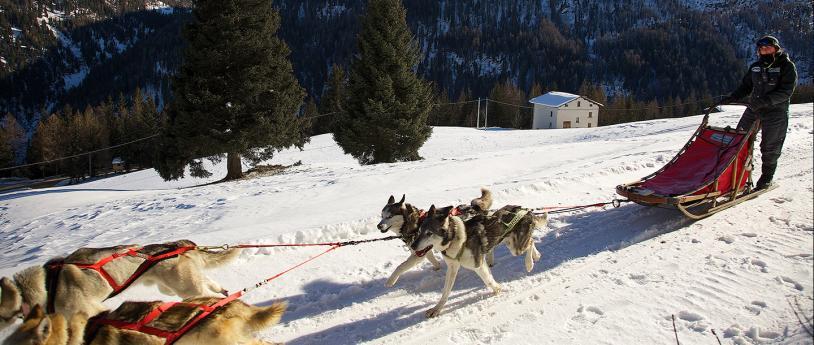 Sled dog, Bormio, Sondrio