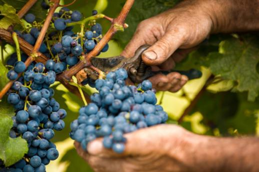 Were to go during grape harvest in Lombardy