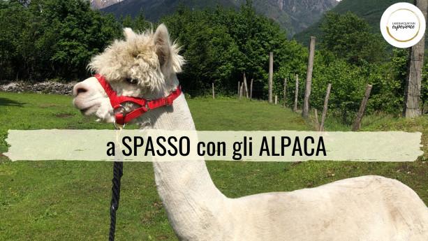 A spasso con gli alpaca