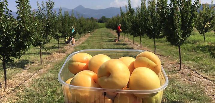 Auto-raccolta mele