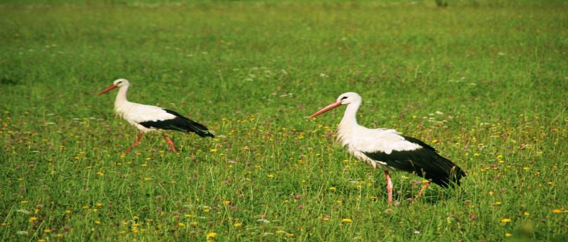 Tour in A35: le cicogne nella bassa bergamasca