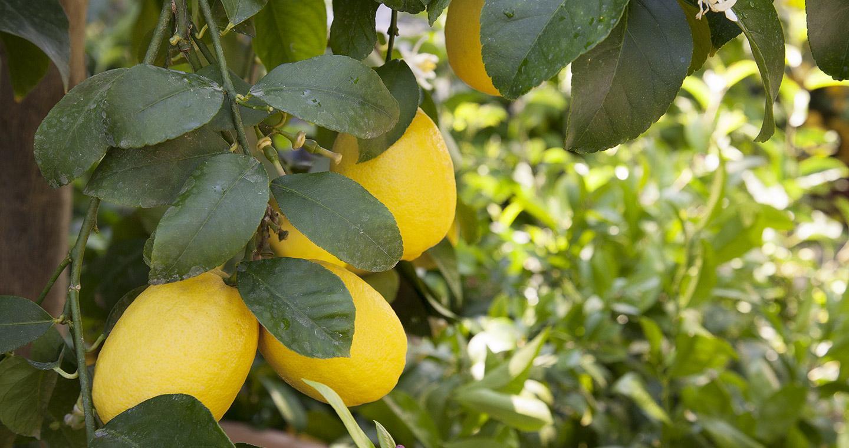The lemons of Garda lake
