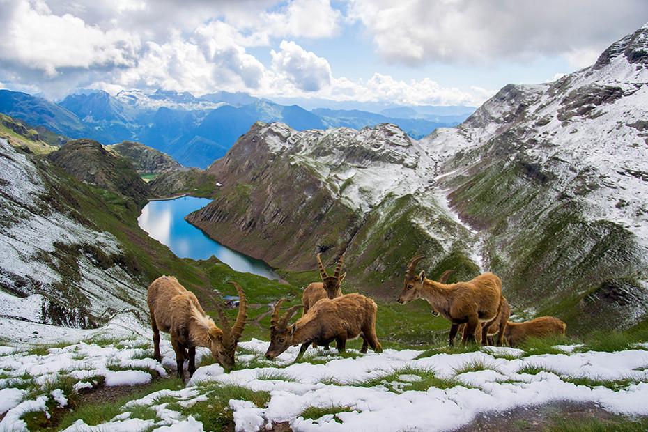 The ibexes on the Passo Aviasco