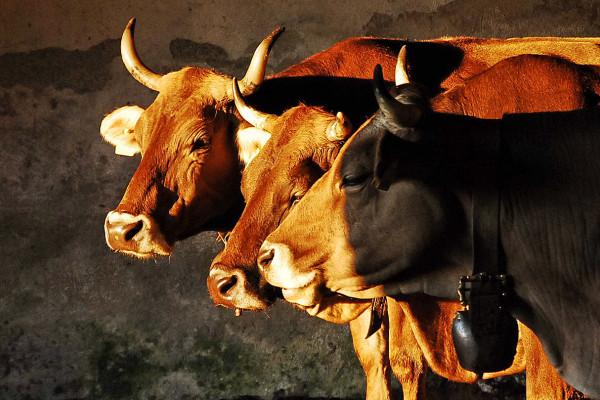 Mucche al Baremone