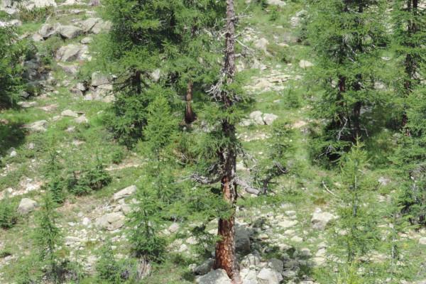 Anello albero risalente più vecchio
