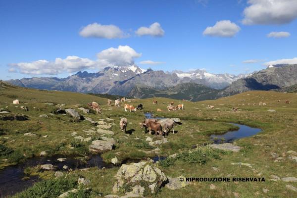 Mucche al pascolo Alpe Campagneda