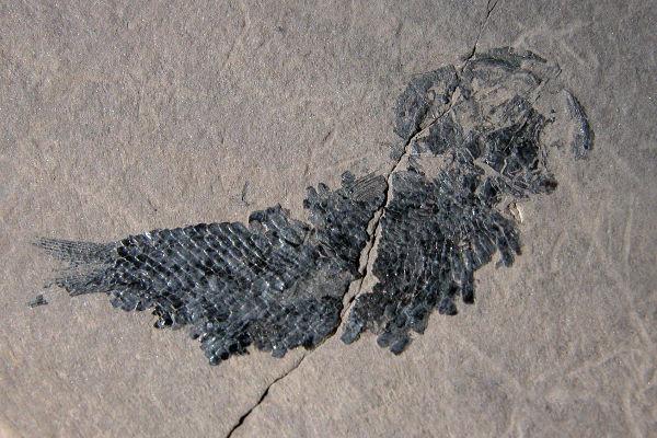 Fossili di pesci (Folidofori)