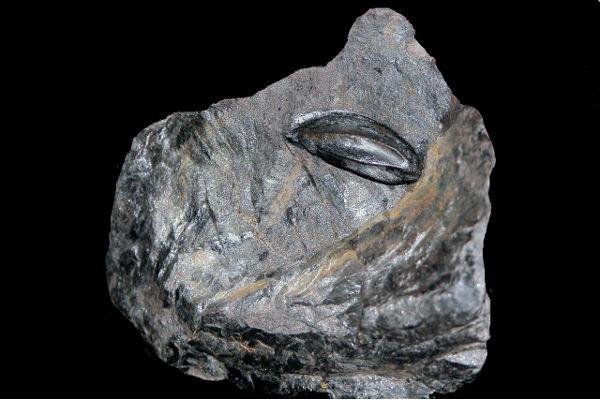 Seme fossile di Trigonocarpus (Pteridosperme)