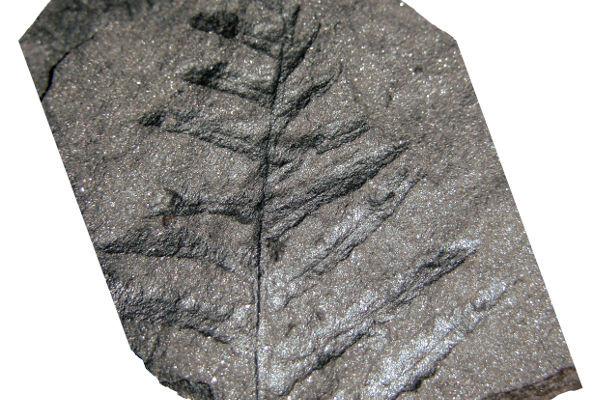 Felce fossile