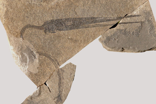 Fossile di Saurichthys