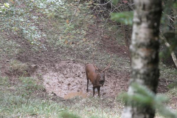 cervo a Passo Spina